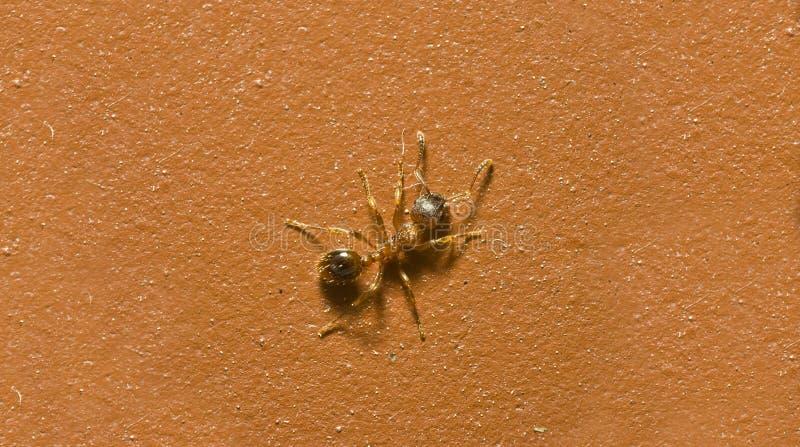 唯一红色蚂蚁 免版税库存图片
