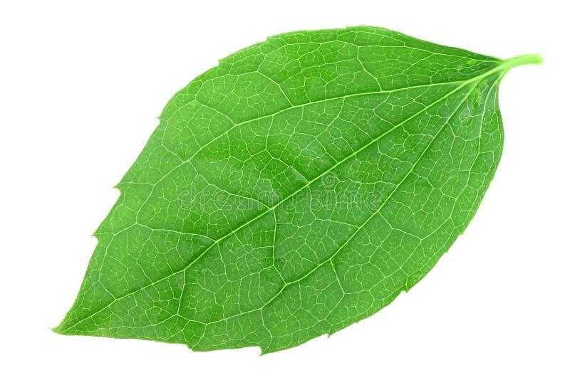 唯一绿色茉莉花的叶子 库存照片