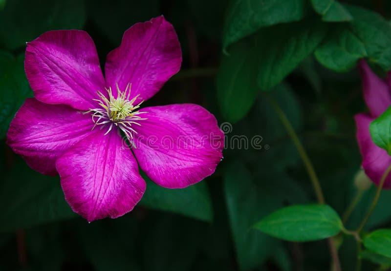 唯一美丽的洋红色铁线莲属花特写镜头在庭院里 免版税库存图片