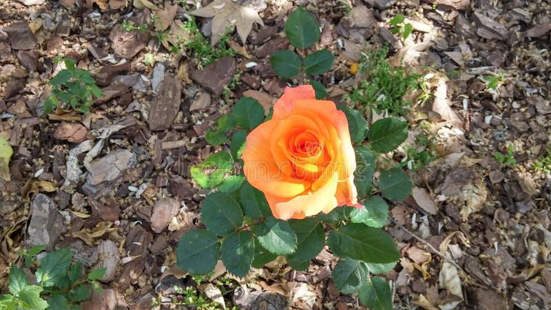 唯一花在庭院里 免版税库存图片