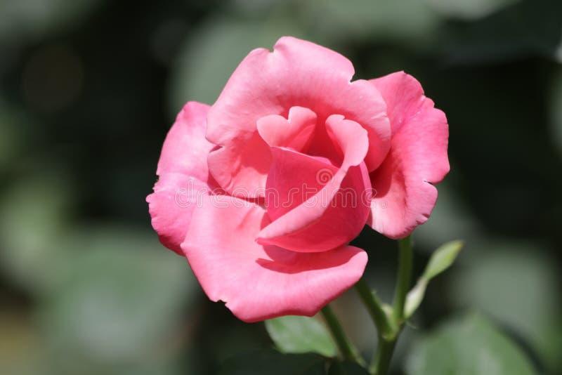 唯一英国兰开斯特家族族徽花在庭院里开花 库存图片