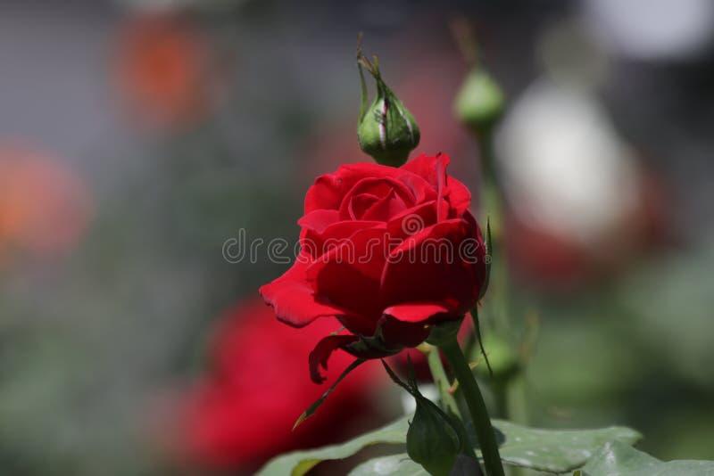唯一英国兰开斯特家族族徽花在庭院里开花 库存照片