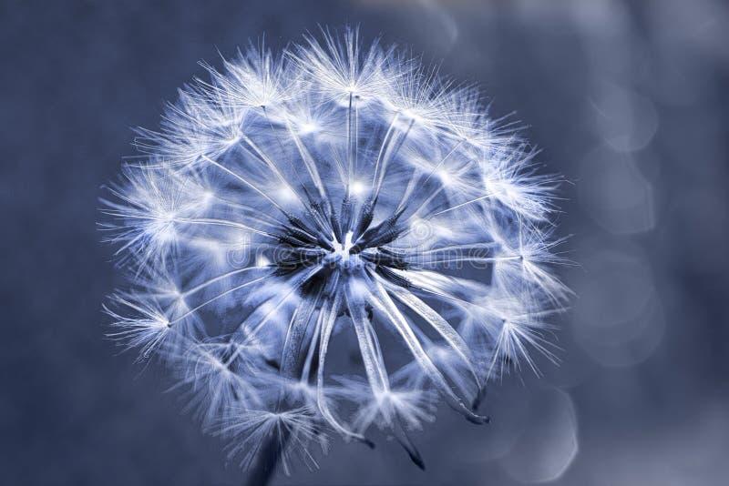 Download 唯一蒲公英蓝色 库存图片. 图片 包括有 背包, 蓝色, 空白, 幻想, 词根, 艺术, 蓬松, 被风吹 - 30327653