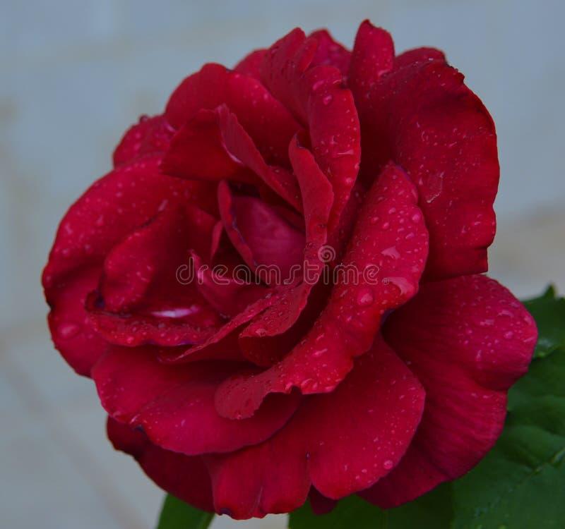 唯一词根美丽的充满活力的红色红色玫瑰 免版税图库摄影