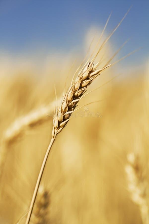 唯一词根麦子 免版税库存照片