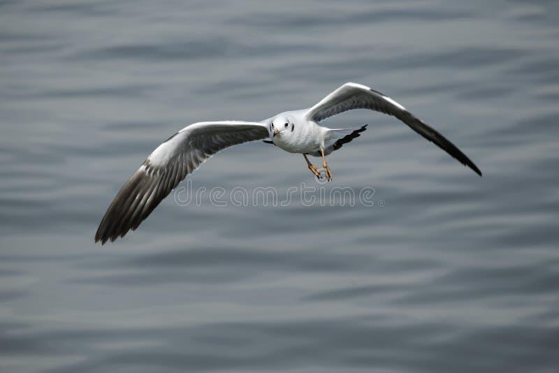 唯一飞行的海鸥 免版税库存图片
