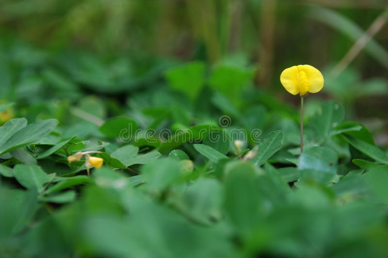 唯一黄色小的花 库存图片