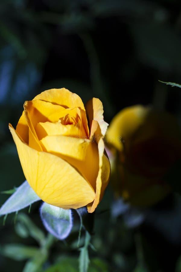 唯一黄色玫瑰 库存照片