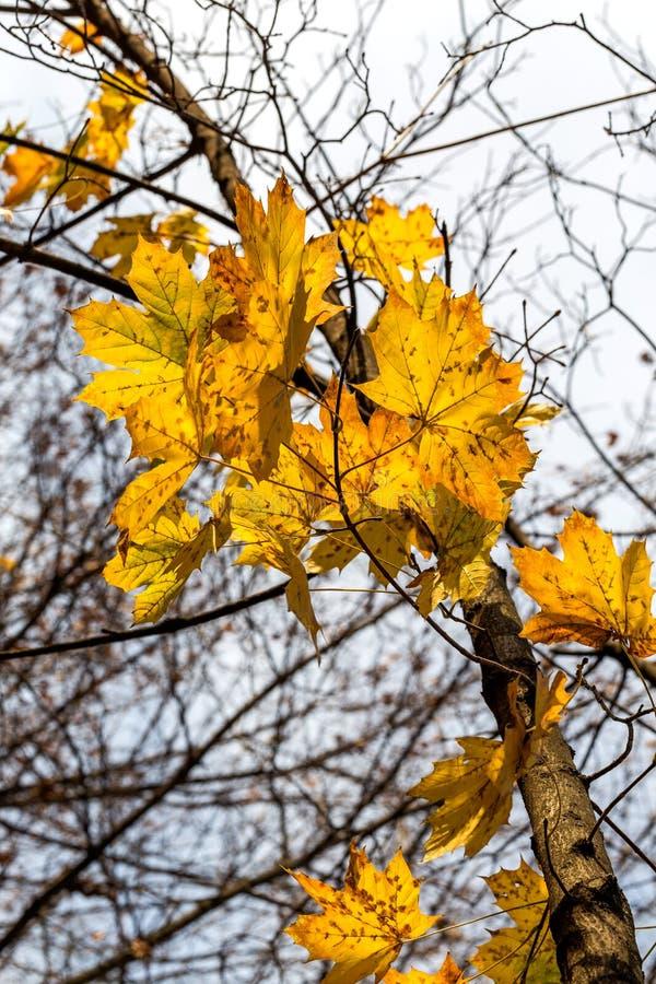 唯一黄色槭树叶子 免版税图库摄影