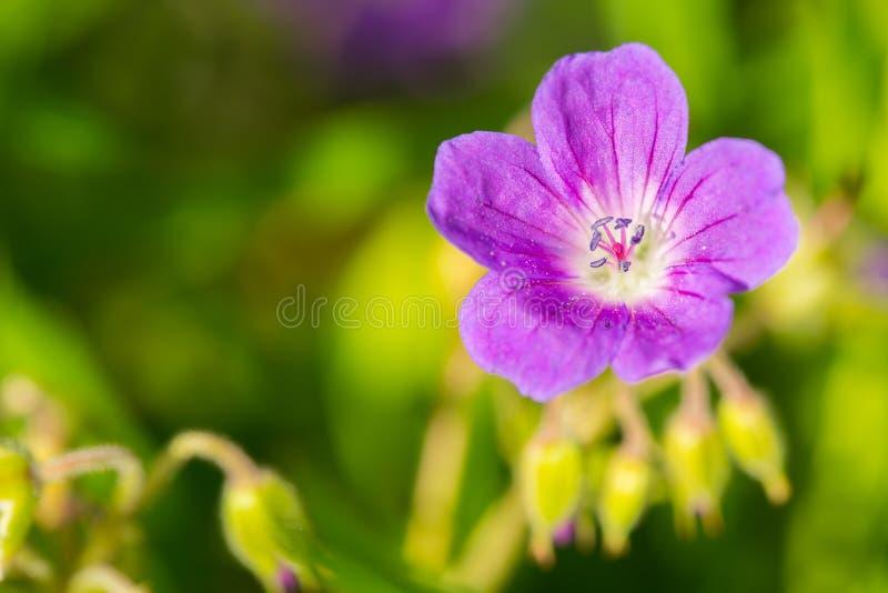 唯一紫色cranesbill 免版税图库摄影