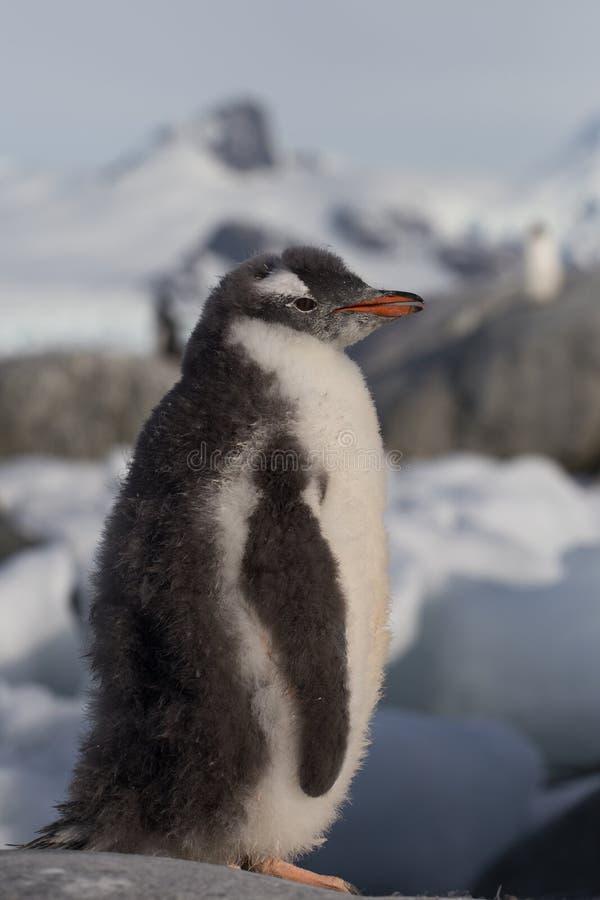 唯一Gentoo的企鹅 企鹅画象在迷离背景的,阿根廷海岛南极洲 库存图片