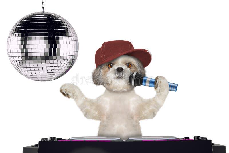 唱与话筒在夜总会的Shitzu狗一首卡拉OK演唱歌曲--隔绝在白色 免版税库存图片