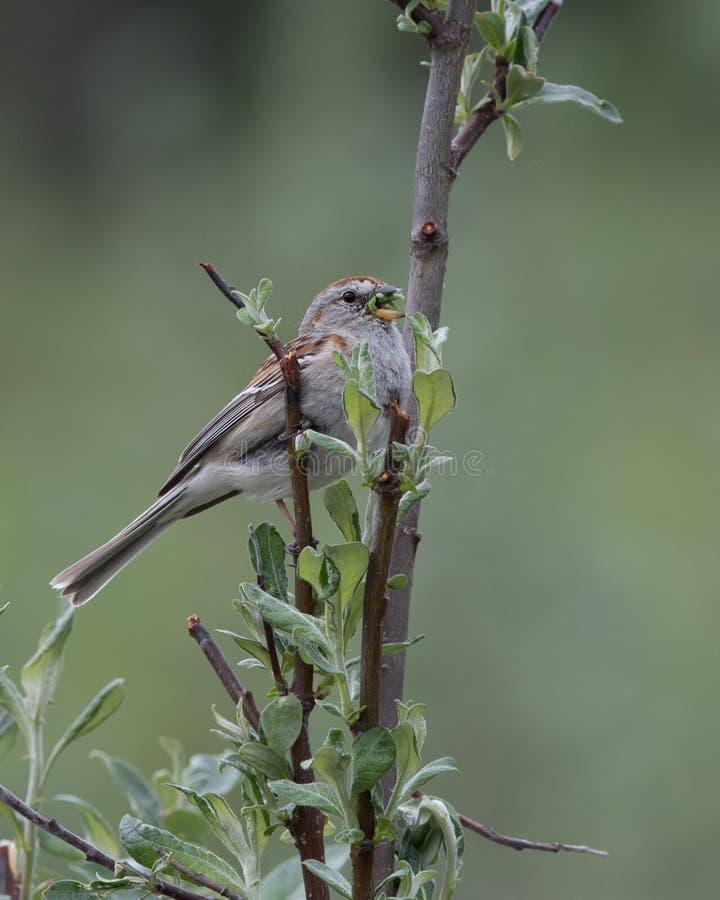 唱歌与嘴的美国树麻雀充分 免版税图库摄影