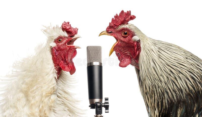 唱歌在话筒的两只雄鸡,被隔绝 库存照片