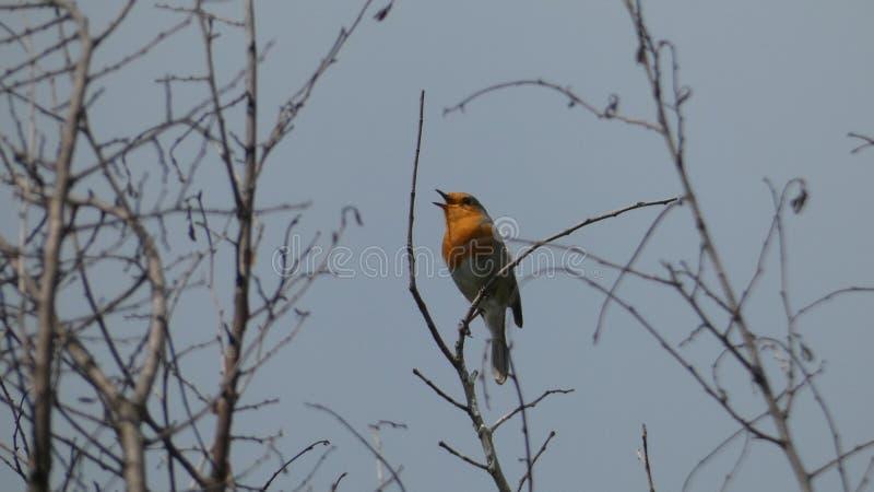 唱歌对它的心脏的知更鸟在平衡的日落高兴 免版税库存图片