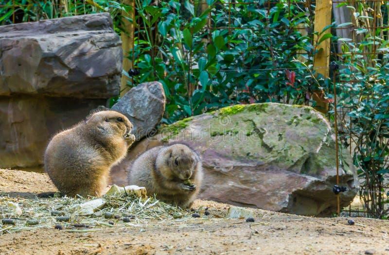 啃在一个含沙风景的一些食物的两只小的逗人喜爱的草原土拨鼠与岩石可爱的啮齿目动物动物画象 免版税库存图片