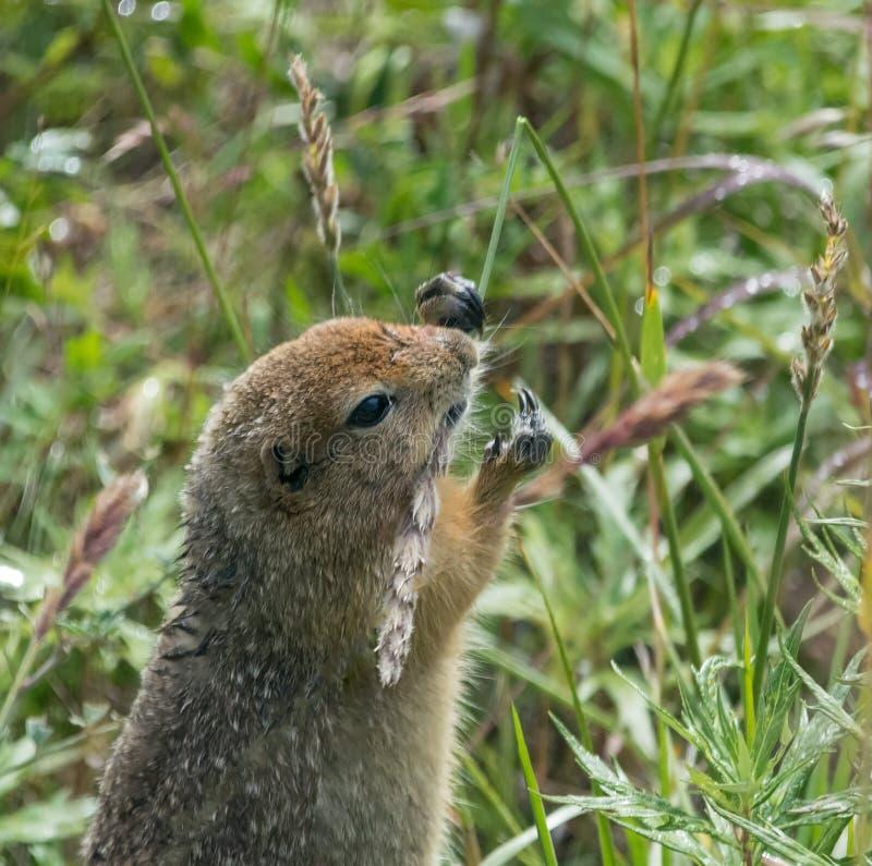 啃在草的阿拉斯加的地松鼠 免版税库存图片