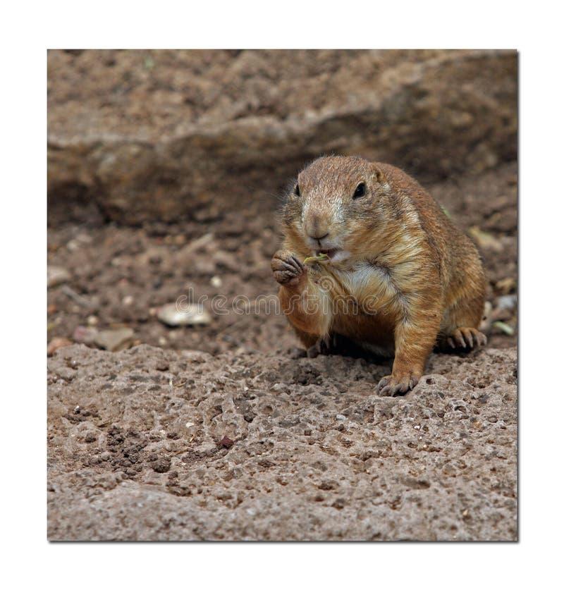 啃的地松鼠 免版税库存照片