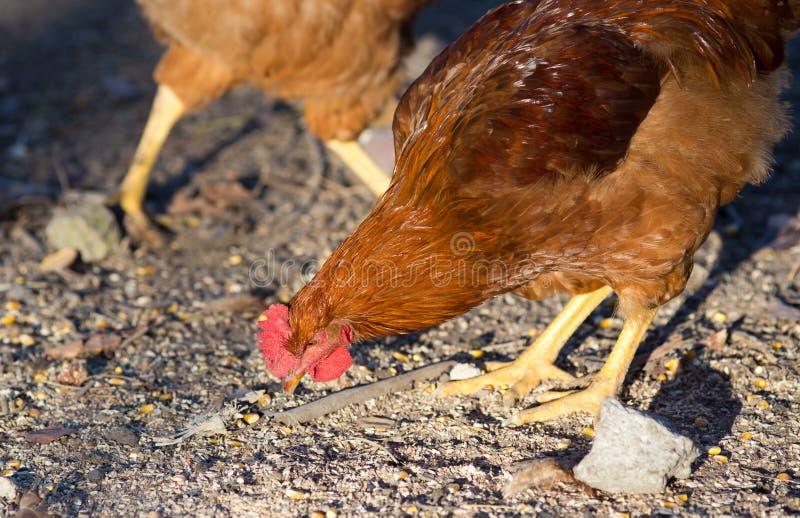 啄在农场的鸡 免版税库存图片