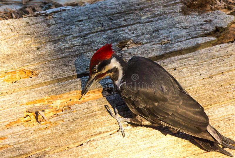啄木鸟在美洲杉国家公园 库存照片