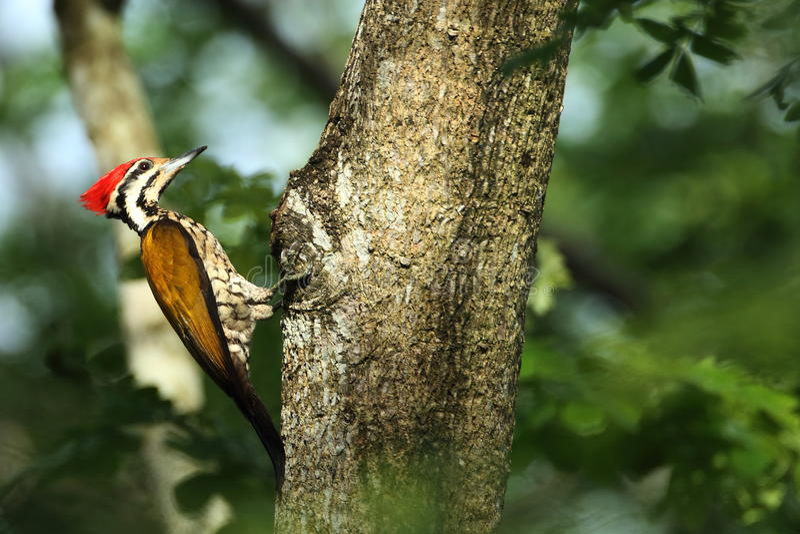 啄木鸟在自然森林马来西亚里 免版税库存照片
