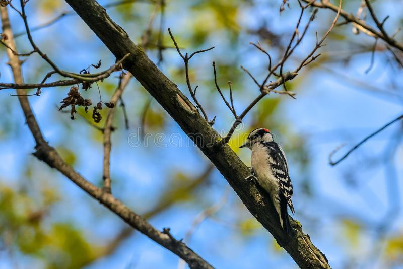 啄木鸟坐分支 免版税库存图片