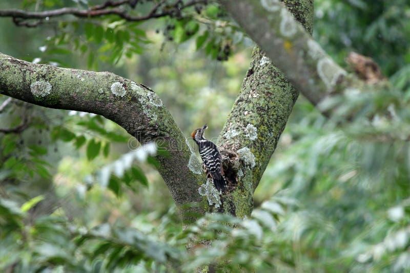 啄木鸟 免版税库存照片