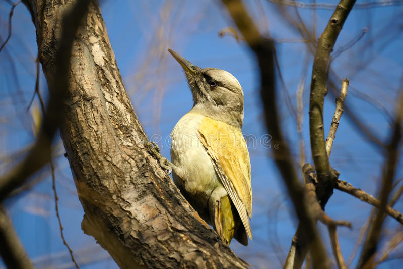 啄木鸟 库存照片