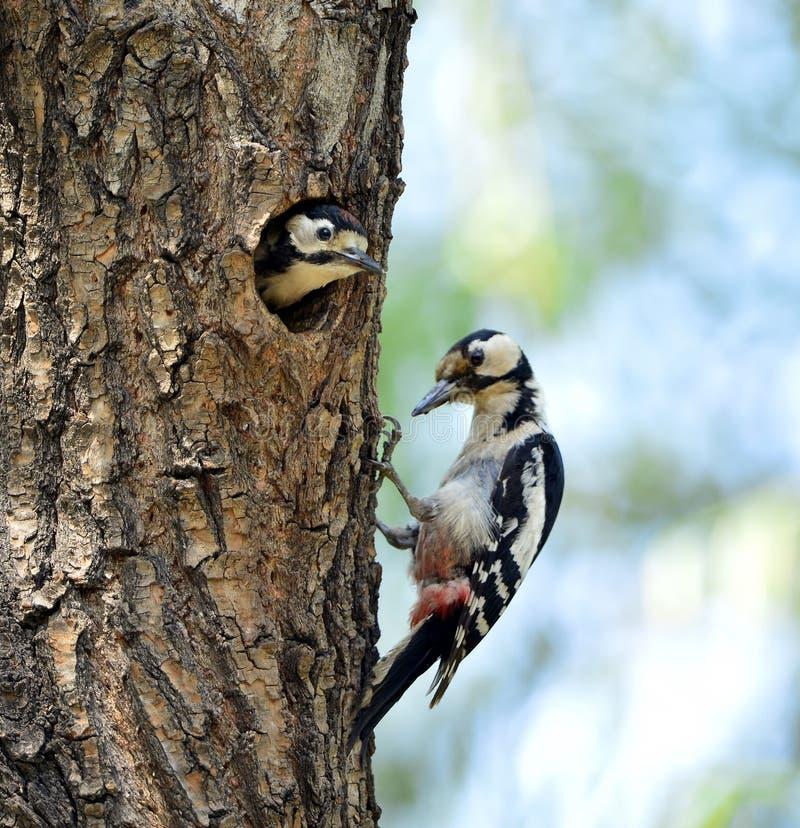 啄木鸟 免版税库存图片