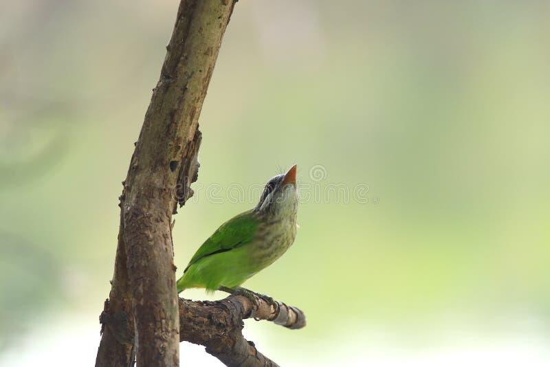 啄木鸟 库存图片