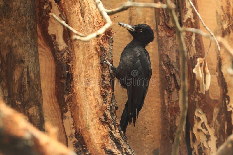 黑啄木鸟 免版税库存图片