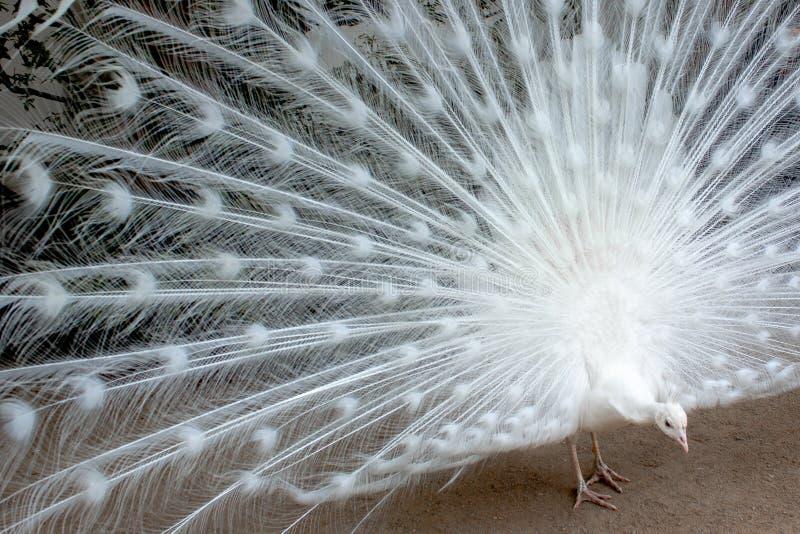 啄白色的孔雀 库存图片