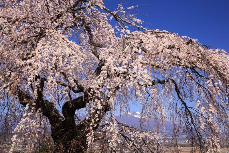 啜泣的樱桃树和山 库存照片