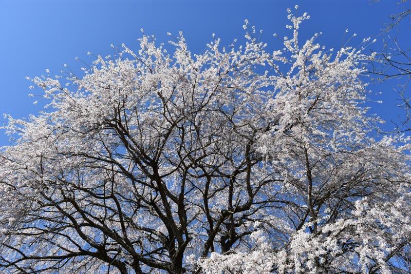 啜泣的樱桃树 库存图片