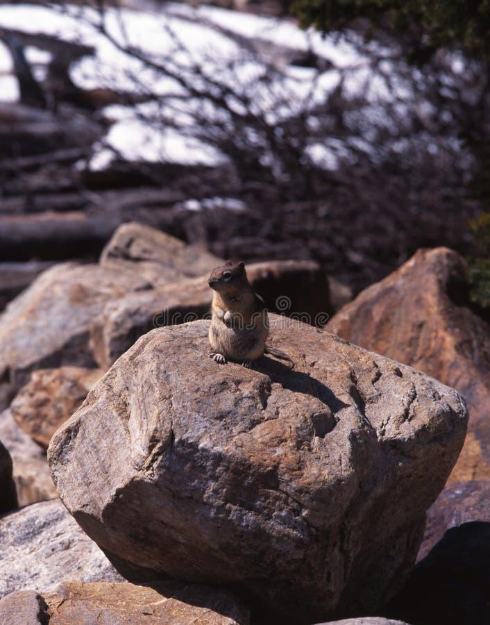 啮齿目动物坐岩石, Moraine湖,亚伯大。