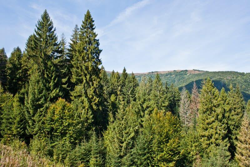 喀尔巴阡山脉的山的杉木森林 免版税库存照片