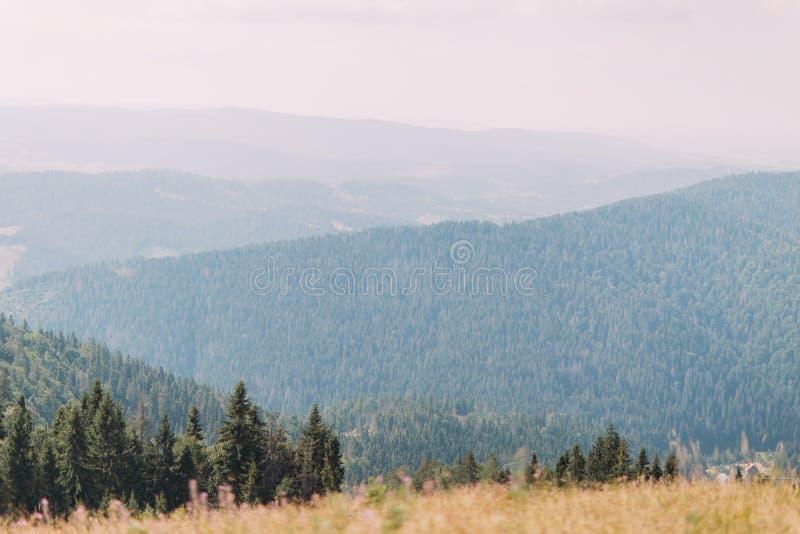喀尔巴阡山脉的杉木Forest Hills风景在与一些高云的庄严蓝天下和在前景的黄色领域 库存图片