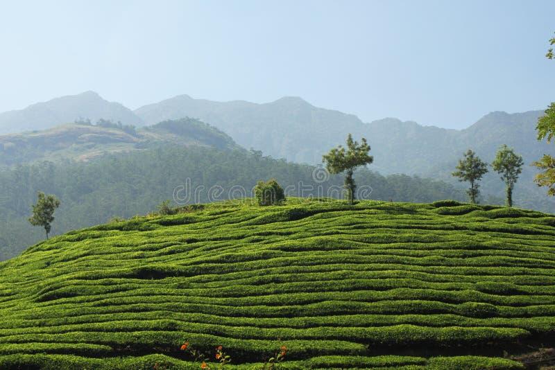 喀拉拉的茶庄园 库存图片