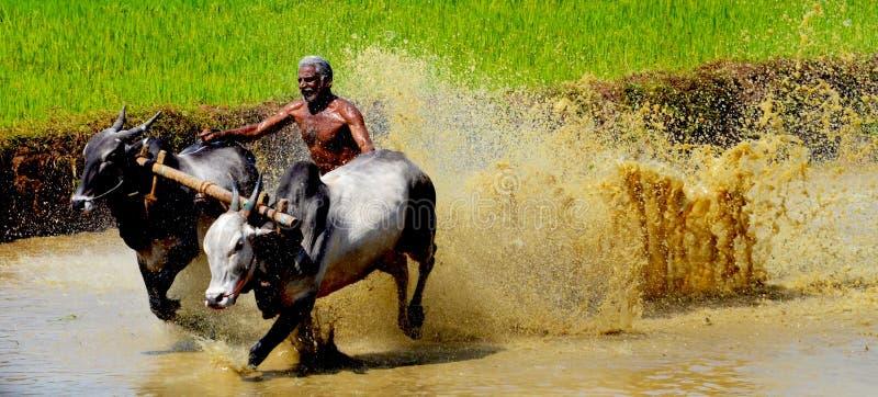 喀拉拉,印度的黄牛种族 免版税库存照片
