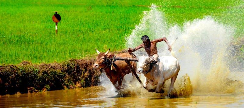 喀拉拉,印度的黄牛种族 免版税库存图片
