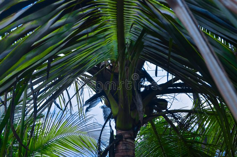 喀拉拉cocunut树 免版税库存照片