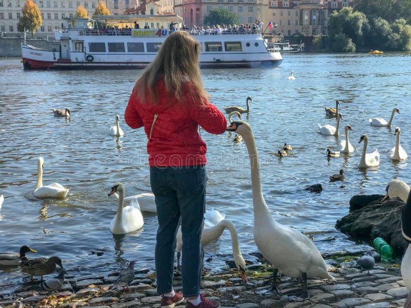 喂养在伏尔塔瓦河Moldau河,布拉格的游人天鹅 免版税库存照片