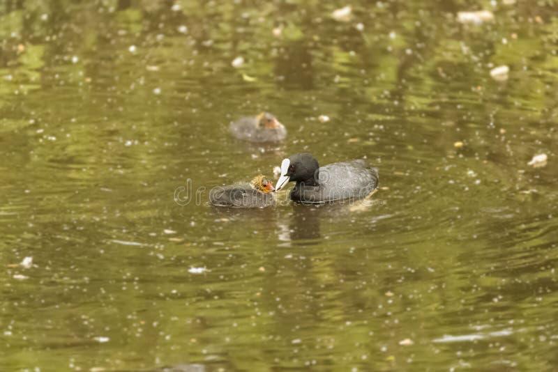 喂养在湖的母亲老傻瓜小老傻瓜 免版税库存照片