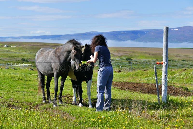 喂养在牧场地的妇女两匹美丽的冰岛马在胡萨维克附近 免版税图库摄影