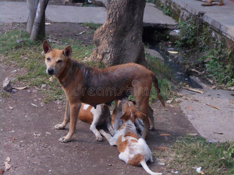 喂养她的小狗的母亲狗 库存照片