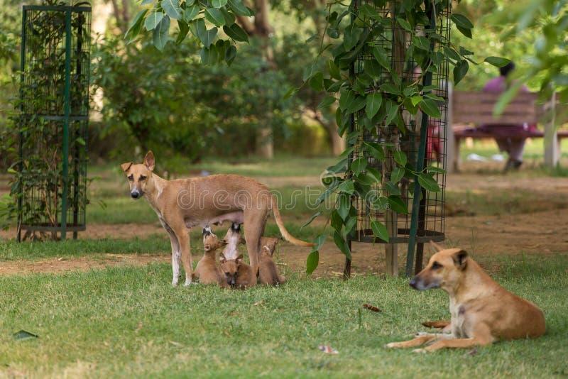 喂养她的小狗的皮包骨头的流浪狗在公园在新德里 免版税库存图片