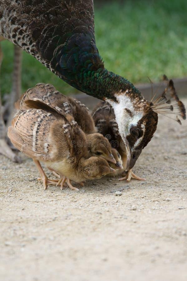喂养她的母亲刚孵出的雏孔雀的鸟 免版税库存照片