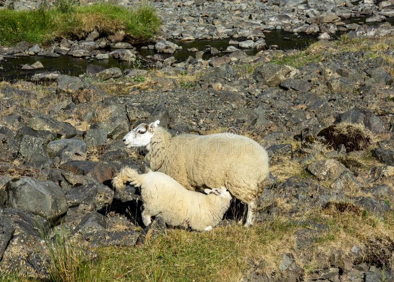 喂养她的羊羔的母亲绵羊 库存图片