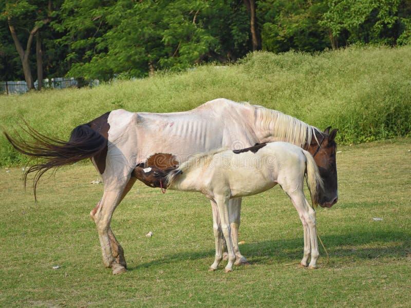 喂养她的驹,婴孩的母亲马在乡下,种田 免版税库存照片