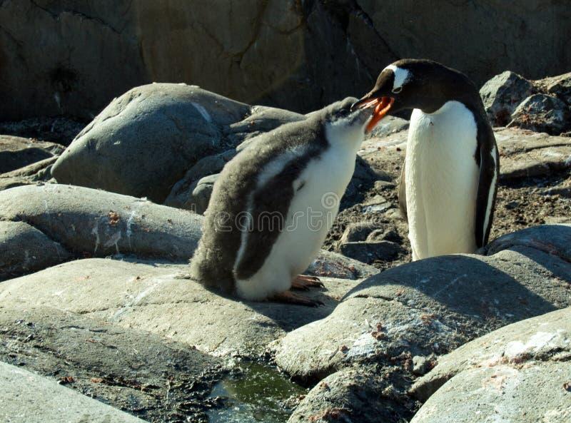 喂养小鸡的成人gentoo企鹅 免版税库存图片